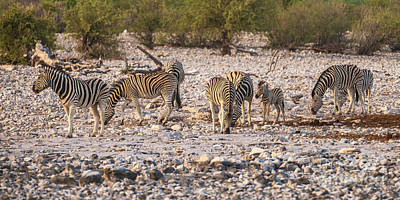 Animals Photos - A Group of Zebra at the Watering Hole by Mike Reid