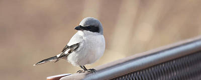 Truck Art Rights Managed Images - A Loggerhead Shrike on a Bench, Whitewater Draw, AZ, USA  Royalty-Free Image by Derrick Neill