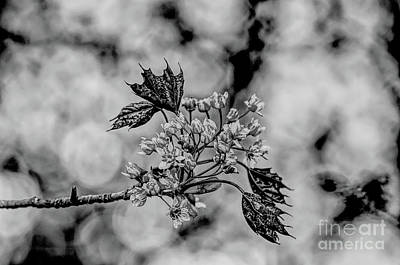 Winter Animals Rights Managed Images - A monochrome Red Maple bloom Royalty-Free Image by Tony Hulme