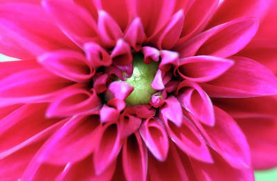 Traditional Bells Rights Managed Images - A New Red Dahlia Is Born Royalty-Free Image by Johanna Hurmerinta