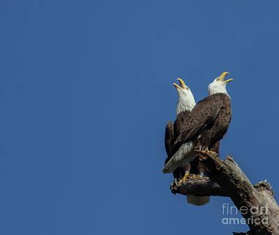 Animals Photos - A Noisy Pair of Eagles by Eleanor Abramson