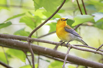 Reptiles - A Prothonotary Warbler is Perched in the Croatan National Forest by Bob Decker
