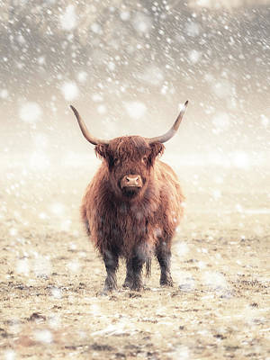 Photograph - A Single Highland Cow During a Snow Storm by Andrew George Photography