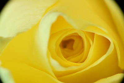 Shark Art - Abstract Yellow Rose by Neil R Finlay