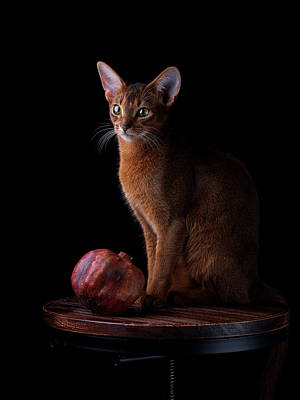 Clouds Rights Managed Images - Abyssinian Cat Portrait Royalty-Free Image by Nailia Schwarz