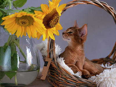 Royalty-Free and Rights-Managed Images - Abyssinian Kitten relaxing in her basket by Nailia Schwarz
