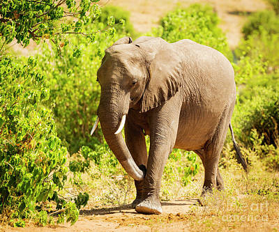 Royalty-Free and Rights-Managed Images - Adult Elephant Portrait by THP Creative