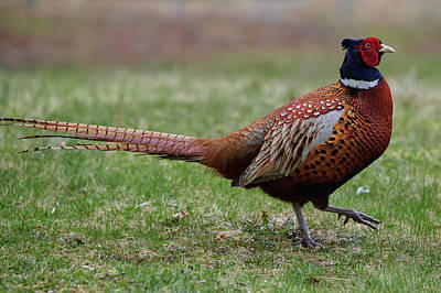 Curtis Patterson Royalty Free Images - Adult male ring-necked pheasant Royalty-Free Image by Curtis Patterson