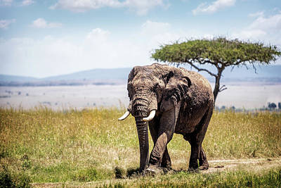 Animals Photos - African Elephant in Kenya by Good Focused