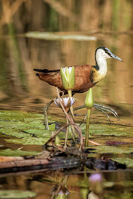 Beastie Boys - African Jacana Stepping Through Water Lilies by Belinda Greb