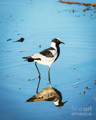 Royalty-Free and Rights-Managed Images - African Pied Wagtail Bird by THP Creative