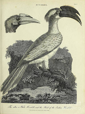 Animals Drawings - Alba or White Hornbill and the Indian Hornbill h2 by Historic illustrations