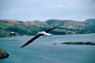 Animal Portraits - Albatross in Flight by Alan Toepfer