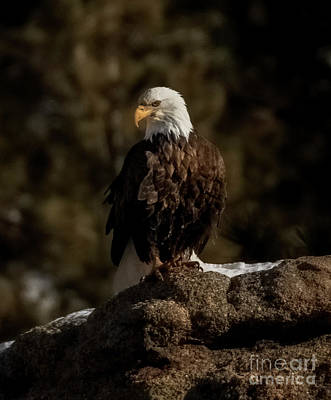 Steven Krull Royalty-Free and Rights-Managed Images - Alert Bald Eagle in Eleven Mile Canyon by Steven Krull