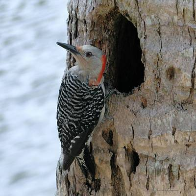 Door Locks And Handles Rights Managed Images - Alert Mother Woodpecker Royalty-Free Image by Barbie Corbett-Newmin