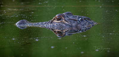 Dan Beauvais Royalty-Free and Rights-Managed Images - Alligator 9180 by Dan Beauvais