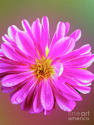 Royalty-Free and Rights-Managed Images - Alpine Aster  by Carol Eliassen