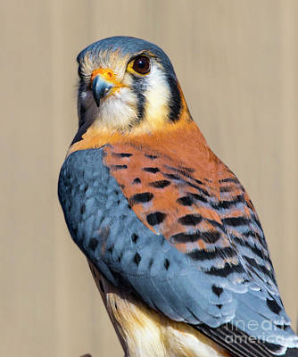 Photo Royalty Free Images - American Kestrel Royalty-Free Image by May Finch