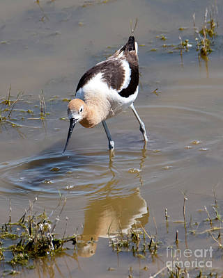 Royalty-Free and Rights-Managed Images - American Avocet Poised by Mike Dawson