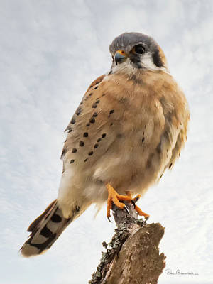 Dan Beauvais Royalty-Free and Rights-Managed Images - American Kestrel 4595 by Dan Beauvais