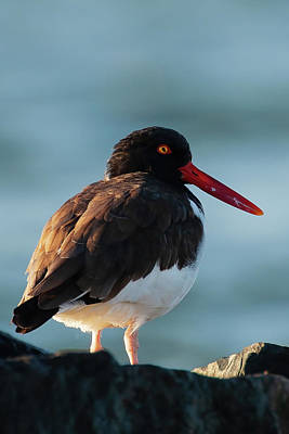 Lori A Cash Royalty-Free and Rights-Managed Images - American Oystercatcher Side Profile by Lori A Cash
