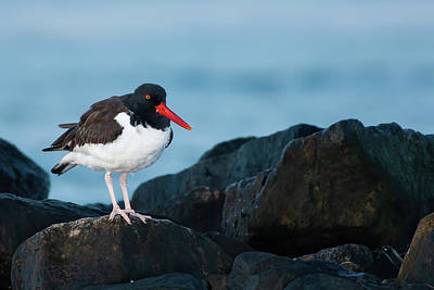 Target Threshold Nature Royalty Free Images - American Oystercatcher Standing on Rocks Royalty-Free Image by Lori A Cash