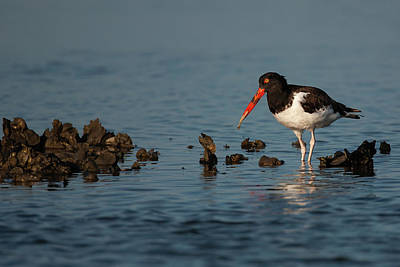 Lori A Cash Royalty-Free and Rights-Managed Images - American Oystercatcher With Oyster by Lori A Cash