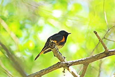Abstract Stripe Patterns - American Redstart by Marlin and Laura Hum