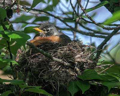 Photograph - American Robin Sitting on Nest DSB0366 by Gerry Gantt