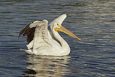 Lori A Cash Royalty-Free and Rights-Managed Images - American White Pelican Landing by Lori A Cash