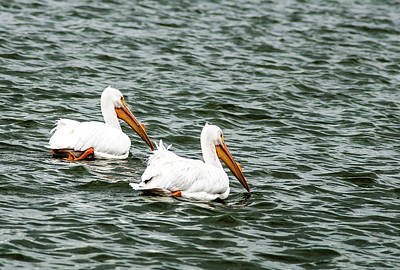 A White Christmas Cityscape - American White Pelican Pair by Norman Johnson