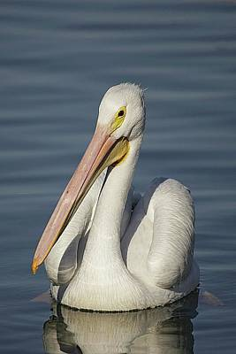 Lori A Cash Royalty-Free and Rights-Managed Images - American White Pelican Portrait by Lori A Cash