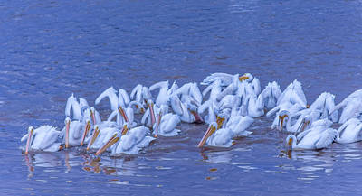 Animals Royalty-Free and Rights-Managed Images - American White Pelicans Herding Fish by Debra Martz
