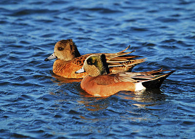 Photograph - American Wigeon by Curt Remington