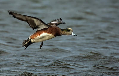 Lori A Cash Royalty-Free and Rights-Managed Images - American Wigeon Landing by Lori A Cash