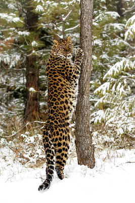 Aloha For Days - Amur Leopard and his Tree by Wes and Dotty Weber