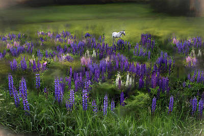 Animals Photos - An Arabian Dream in a Field of Lupine by Wayne King