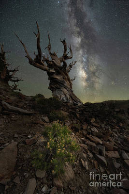 Recently Sold - Surrealism Royalty Free Images - Ancient Bristlecone Pine Forest  Royalty-Free Image by Michael Ver Sprill