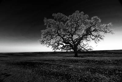 Clouds Rights Managed Images - Ancient Solitary Oak At Dawn BW Royalty-Free Image by Frank Wilson