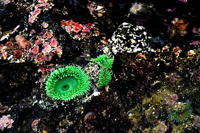 Jerry Sodorff Royalty-Free and Rights-Managed Images - Anemone and Mussels by Jerry Sodorff