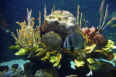 Photograph - Angelfish and Reef by Curt Remington