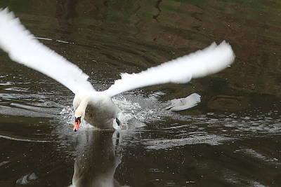 Photograph - Angry swan by Lenka Rottova
