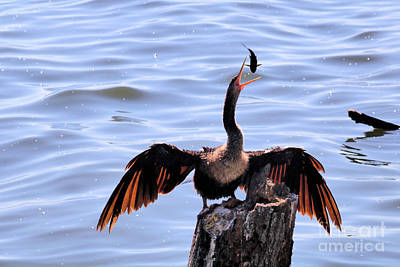 Abstract Animalia Royalty Free Images - Anhinga Fish Juggle Royalty-Free Image by Diann Fisher