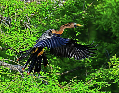 A White Christmas Cityscape - Anhinga in Flight by Stuart Harrison