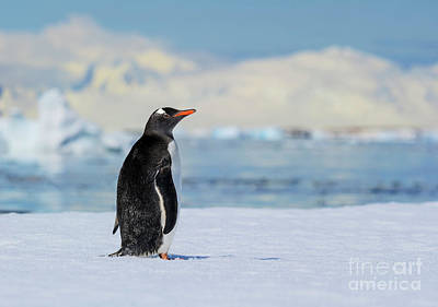 Animals Photos - Antarctic Dreams... by Nina Stavlund