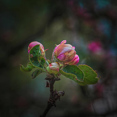 Queen Rights Managed Images - Apple buds #j8 Royalty-Free Image by Leif Sohlman
