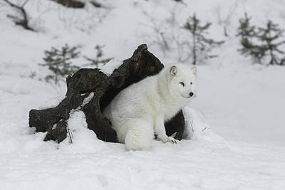 Beverly Brown Fashion - Arctic Fox At Home by Wes and Dotty Weber