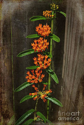 Purely Purple - Asclepias Tuberosa-butterfly Weed by Judy Wolinsky