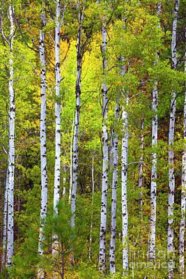 Photograph - Aspen Tree Wall Art, Aspen Tree Decor, Birch Tree Art, Aspen Art, Metal Aspen Tree Wall Art, by David Millenheft