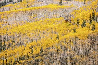 Photograph - Aspens in the Fall by Tamara Susa